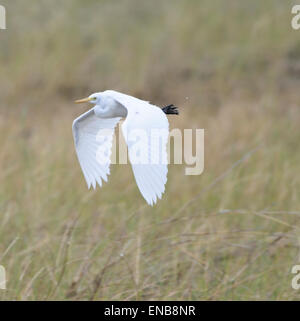 Great Egret (Ardea alba), Mornington Wilderness Camp, Kimberley Region, Western Australia - Stock Photo