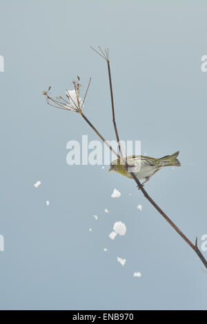 European Siskin eating sunflower seed dislodges snow from fennel plant - uk - Stock Photo
