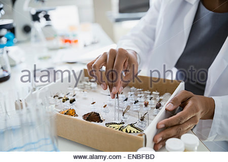 Scientist removing butterfly specimens from box with tweezers - Stock Photo