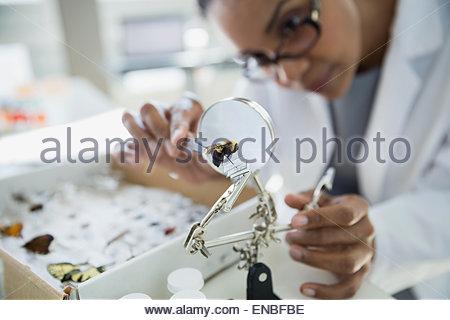 Scientist examining bee specimen under microscope - Stock Photo
