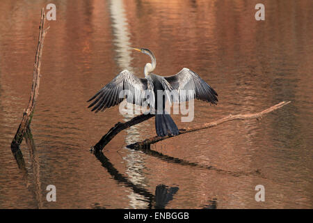 Oriental Darter (Anhinga Melanogaster, aka Indian Darter, Snakebird) Sitting on a Branch in a Lake, with Wings Held - Stock Photo