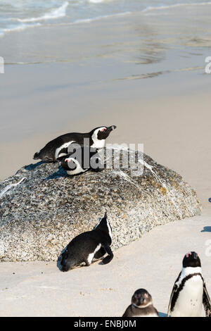 Jackass Penguins (lat. Spheniscus Demersus) at Boulders Beach in South Africa - Stock Photo