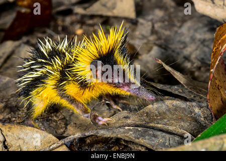 lowland streaked tenrec , andasibe, madagascar - Stock Photo
