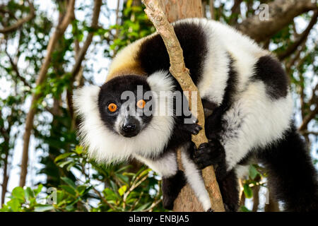 black-and-white ruffed lemur, lemur island, andasibe, madagascar - Stock Photo