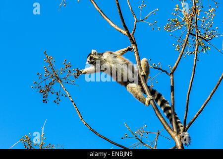 ring-tailed lemur, lemur catta, anja, madagascar - Stock Photo