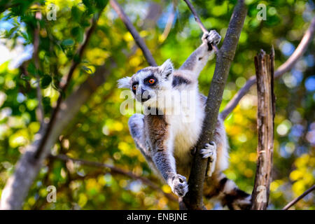 ring-tailed lemur, lemur catta, anja, madagascar - Stock Photo