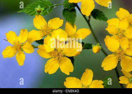 Kerria japonica 'Golden Guinea' close up flower - Stock Photo