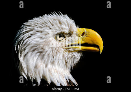 bald eagle, haliaeetus leucocephalus - Stock Photo