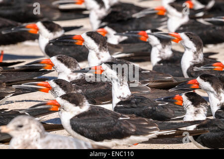 black skimmer, rynchops niger - Stock Photo