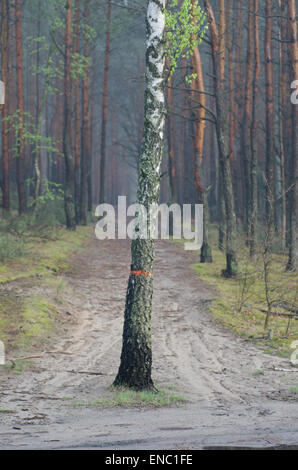 lonely birch tree in pine forest - Stock Photo