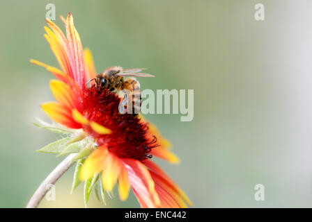 Close up picture of a honey bee extracting nectar from a red and yellow flower against a natural, blurred greenish - Stock Photo