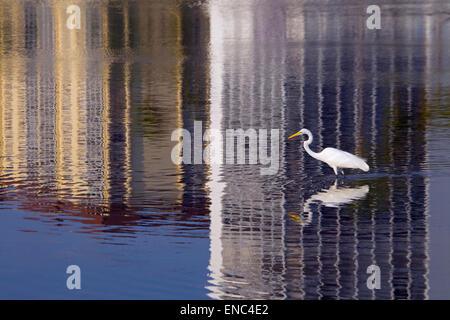 Great Egret Casmerodius alba fishing in lagoon with urban reflections Florida USA - Stock Photo