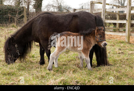 A two day old Shetland Pony foal with her mother in a grass field - Stock Photo