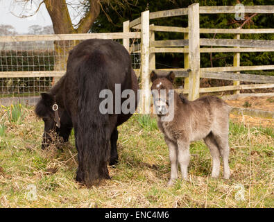 A Shetland Pony mare and foal - Stock Photo