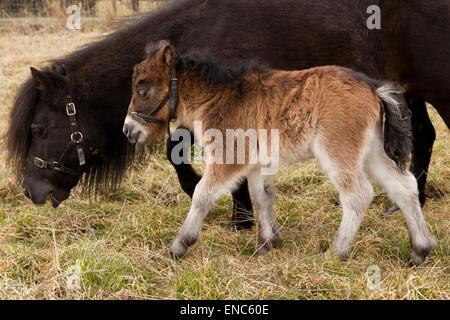 A pony mare and foal - Stock Photo