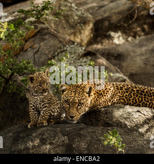 Leopard and her cubs resting on rocks, Serengeti, Tanzania, Africa - Stock Photo