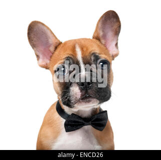French bulldog puppy wearing a bow tie in front of a white background - Stock Photo