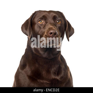 Labrador Retriever (2 years old) in front of a white background - Stock Photo