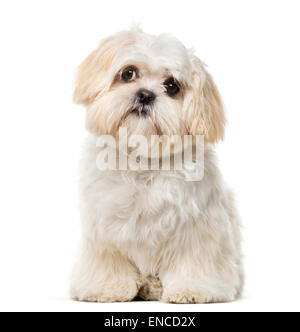 Shih Tzu puppy (6 months old) in front of a white background - Stock Photo