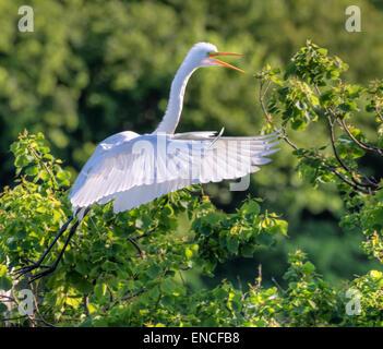 Great egret (Ardea alba) flying, High Island, Texas, USA. - Stock Photo