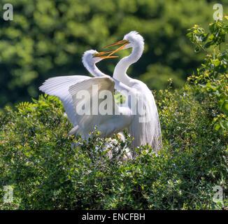 Courtship of great egrets (Ardea alba) near the nest, High Island, Texas, USA - Stock Photo
