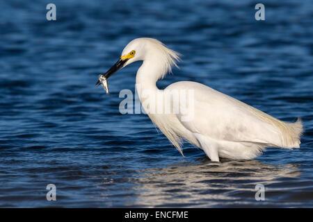 Snowy egret (Egretta thula) fishing in tidal mars, Galveston, Texas, USA. - Stock Photo