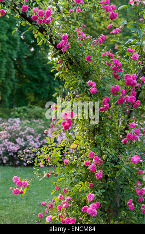 Rose Trellis with Rosa 'Bloomfield Courage' - Stock Photo