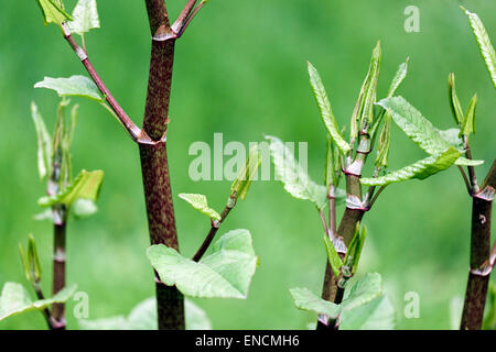 Japanese Knotweed, Fallopia japonica Reynoutria japonica, young leaves, invasive plant - Stock Photo