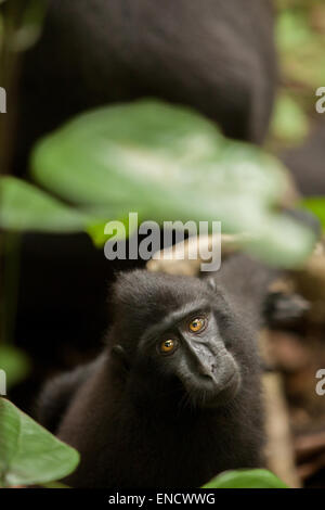 Celebes black-crested macaque. Portrait of juvenile. - Stock Photo