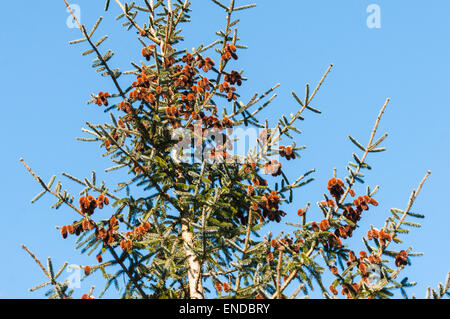 Pine cones of a young Sitka Spruce tree, Picea sitchensis, against a blue spring sky. - Stock Photo