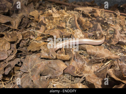 Slow Worm (Anguis fragilis) on a Nature reserve in the Herefordshire UK countryside - Stock Photo