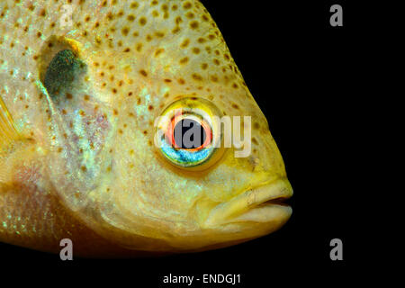 Lepomis gibbosus, pumpkinseed sunfish, Head Portrait, Ginnie Spring, High Springs, Gilchrist County, Florida, USA - Stock Photo