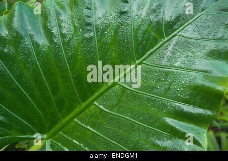 NEPAL, Royal Bardia National Park, wet banana leaf - Stock Photo