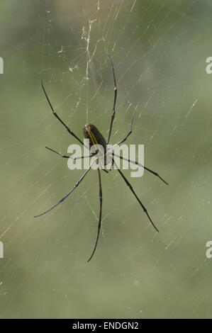 NEPAL, Royal Bardia National Park, Large Tree Spider - Stock Photo