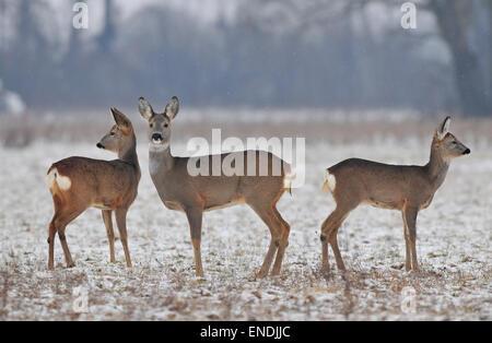 Small roe deer herd in winter - Stock Photo