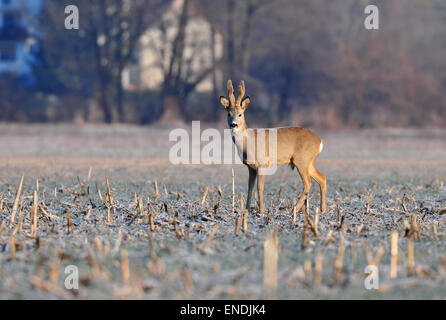 Photo of roe deer in a field - Stock Photo