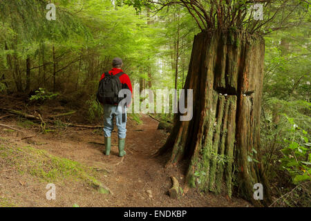 Giant Western Red cedar tree stump on trail to Sandcut Beach-Jordan River, British Columbia, Canada. - Stock Photo