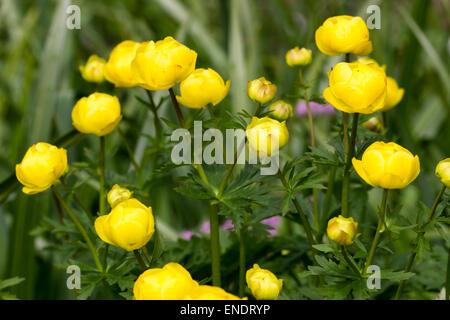 Yellow globe flowers of the spring flowering UK native Trollius europaeus - Stock Photo