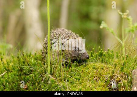 European Hedgehog, Erinaceus europaeus. Sussex, UK. May. - Stock Photo
