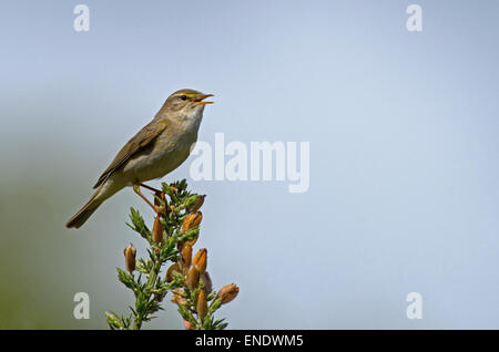 Willow Warbler-Phylloscopus trochilus, perches on Gorse- Ulex europaeus, in song. Spring. Uk - Stock Photo