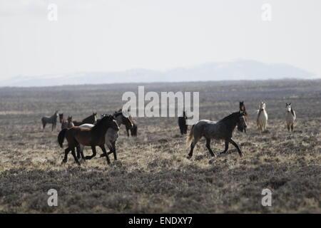 Rare and elusive wild horses in the Red Desert of Wyoming - Stock Photo