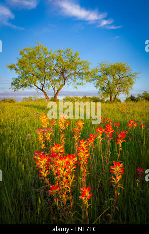 Texas paintbrush and trees in Ennis, Texas. - Stock Photo
