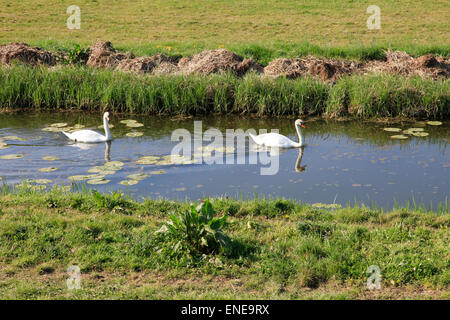 Pair of swans swimming on a river - Stock Photo