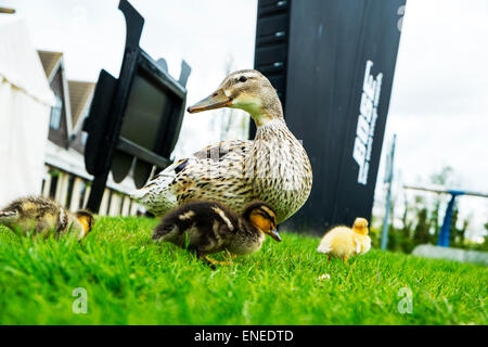 Ducklings duckling duck mallard female with offspring on grass low viewpoint cute - Stock Photo