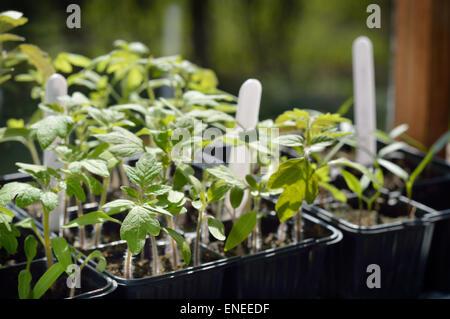 Few Tomato seedlings – organic gardening. Selective focus. - Stock Photo