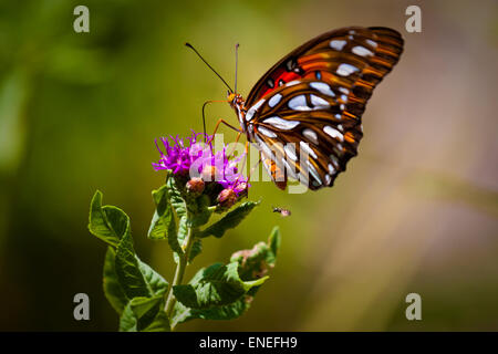 A Gulf Fritillary butterfly, or Passion Butterfly (Agraulis vanillae) poised on a purple flower with a small bee - Stock Photo