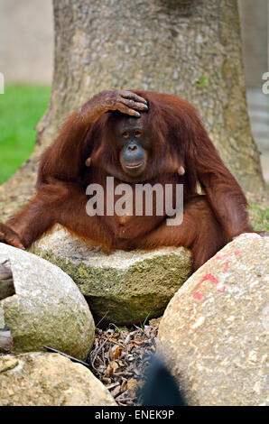 Stock image of a orangutan - Stock Photo