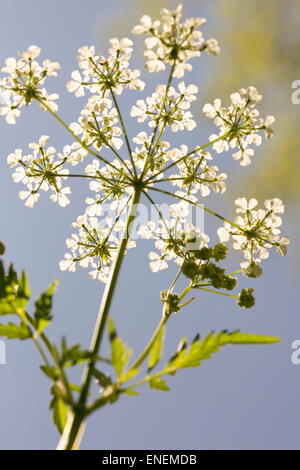 Cow parsley (Anthriscus sylvestris) flowers shot from below on blue sky - Stock Photo