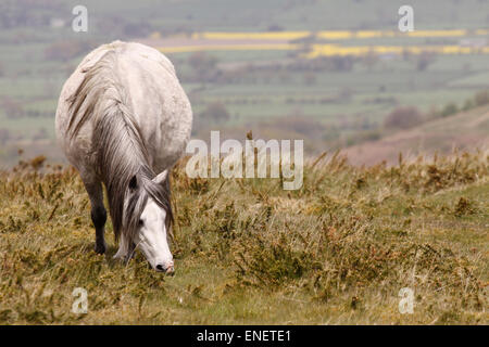 Hergest Ridge, near Kington, Herefordshire UK. 4th May, 2015. UK Weather: A pony enjoys the grazing on a day of - Stock Photo