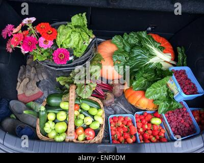 Fruit and pumpkins in car boot harvested from allotment in autumn - Stock Photo